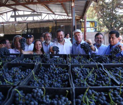 Uva chilena de exportación Maylen fue presentada en sociedad en San Esteban