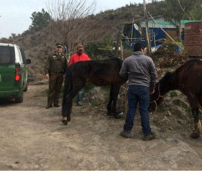 Equipo veterinario municipal de Los Andes fiscaliza estado de animales en sector Las Vizcachas