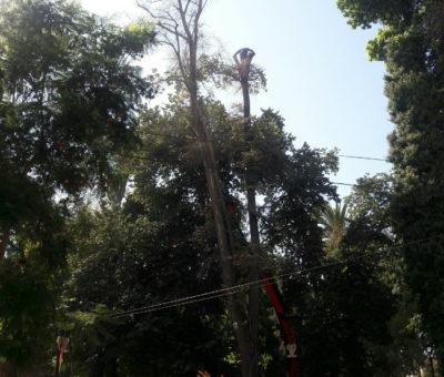Cortan árboles en plaza de San Felipe por encontrarse en mal estado de conservación